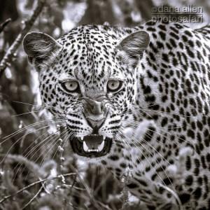 Leopards of Luangwa