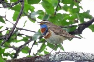 Male Bluethroat