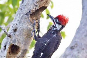 Pileated Woodpecker at Sanibel Gardens Preserve