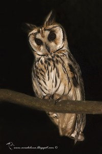 Striped Owl Pseudoscops clamator