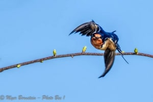 Barn Swallow Flying at You