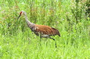 After the Rain....sandhill Crane