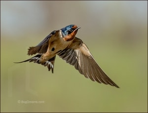 Barn Swallow in a Wide and Empty Sky