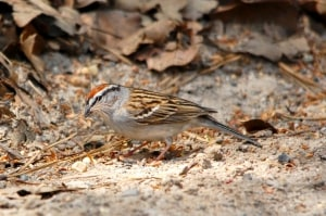 Chipping Sparrow Collecting Nesting Material