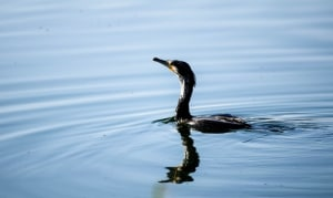 Cormorant - Phalacrocorax Carbo