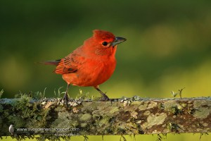 Hepatic Tanager Piranga flava
