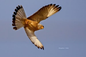 Lesser Kestrel in Flight