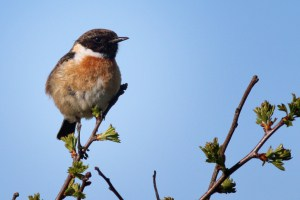 Stonechat  Defending Its Territory