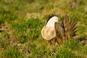 Strutting Sage Grouse