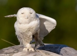 Snowy Owl Stretching