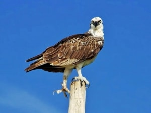What Are You Looking At? (Yucatecan Osprey)