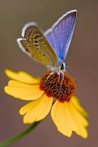 Reakirt's Blue butterfly
