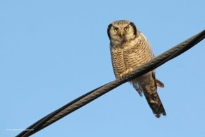 Hawk Owl in the sun