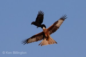 Aerial Combat between Red Kite and Carrion Crow