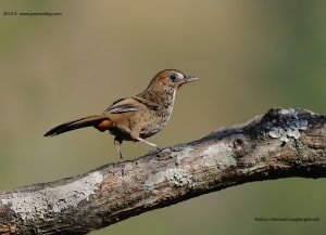 Rufous Chinned Laughing Thrush