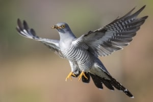 Flying Cuckoo