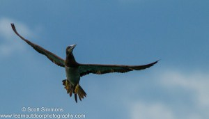 Brown Booby in Flight