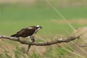 Osprey Feeding