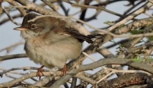 Menetries Warbler