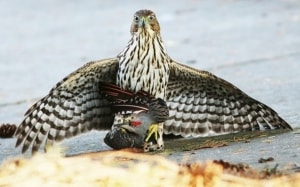 Cooper's Hawk with Northern Flicker