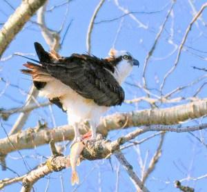 Osprey with Kill