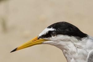 Little Tern Portrait
