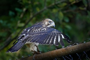 Broad-wing Hawk