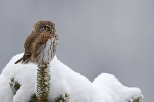 Winter - European pygmy owl