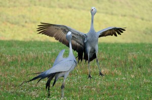 The Blue Crane (Anthropoides paradiseus)