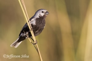 Black-bellied Seedeater