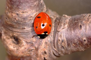 Ladybird on Cherrywood