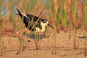 Black-necked Stilt at Harns Marsh Preserve