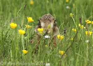 Hare hiding in the grass at Elmley