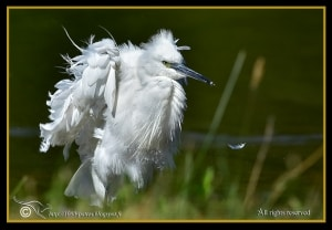 Ruffled up Egret