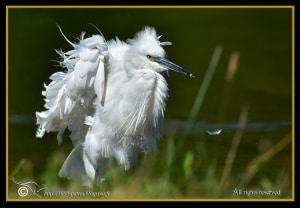 Ruffled up Egret
