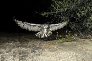Great Horned Owl - Coming in Fast!