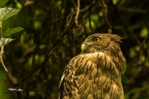 Brown Fish Owl