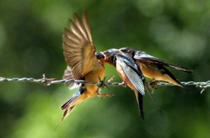 Feeding Barn Swallows