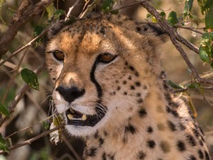 Malika a Female Cheetah