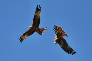 Red Kite Aerobatics (1)