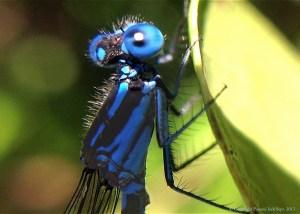 Mischievous Dragonfly