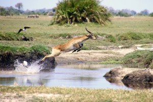 Leaping Lechwe