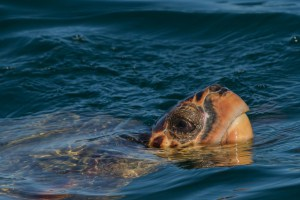 Caretta Caretta Breathing