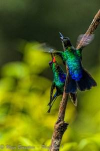 Fiery-throated Hummingbirds