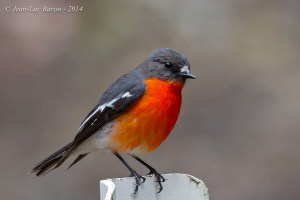 Flame Robin (Petroica Phoenicea) NT