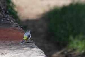 Grey Wagtail- Motacilla Cemerea