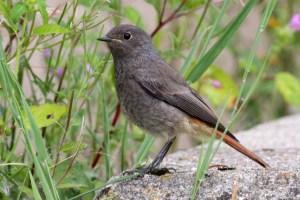 Juvenile Black Redstart Phoenicurus Ochruros