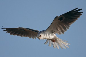 White-tailed Kite Hover and Tail Flare