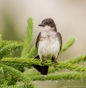 Eastern Kingbird in the Rain