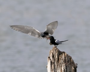 Black Terns, Courtship Feeding